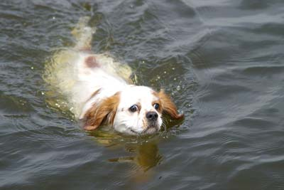 White spaniel dog swimming in lake water.