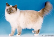 The Birman Cat Breed