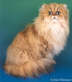 The Persian Cat Breed