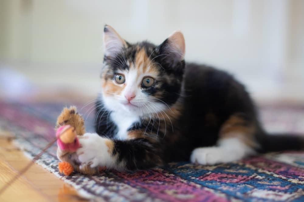 Calico kitten laying on carpet with toy on string