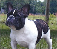 The French Bulldog Dog Breed