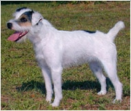 The Jack Russell Terrier Dog Breed