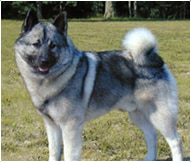 The Norwegian Elkhound Dog Breed