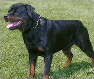 The Rottweiler Dog Breed