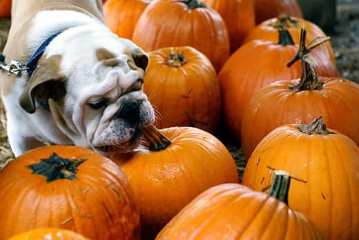 English bulldog in a blue collar sniffs at a pumpkin in a pumpkin patch.